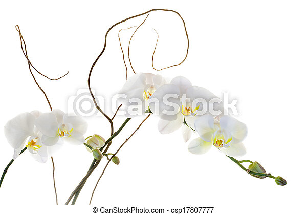White Orchids - csp17807777