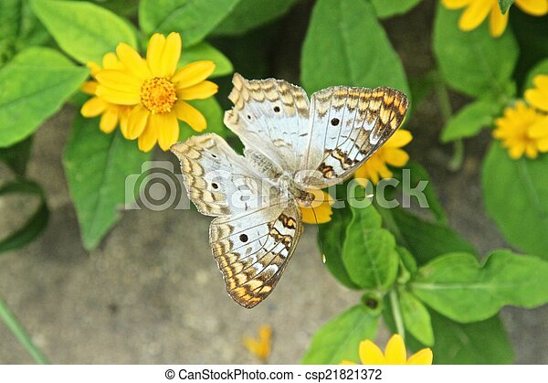 White Peacock Butterfly - csp21821372
