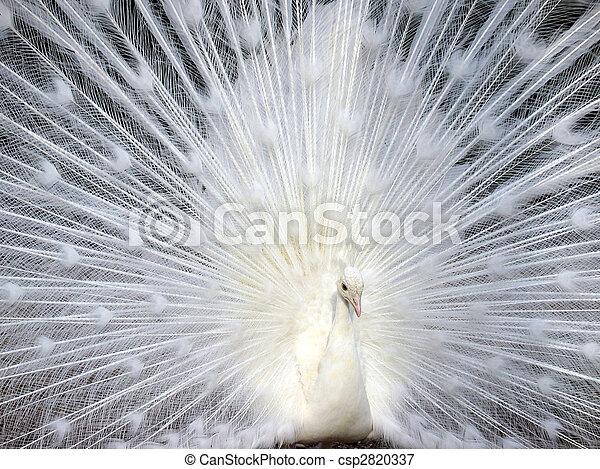 White peacock displaying his beautiful tail - csp2820337