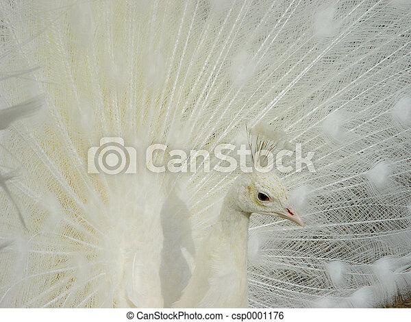 white peacock - csp0001176