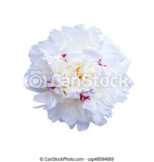 White peonies isolated on white background peonies flowers stock white peonies isolated on white background peonies flowers csp48094669 mightylinksfo