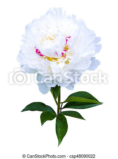 White peonies isolated on white background peonies flowers white peonies isolated on white background peonies flowers csp48090022 mightylinksfo