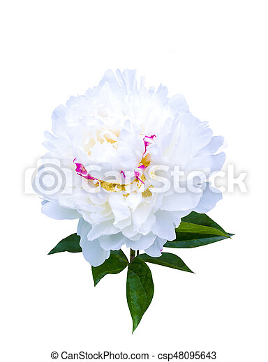 White peonies isolated on white background peonies flowers white peonies isolated on white background peonies flowers csp48095643 mightylinksfo