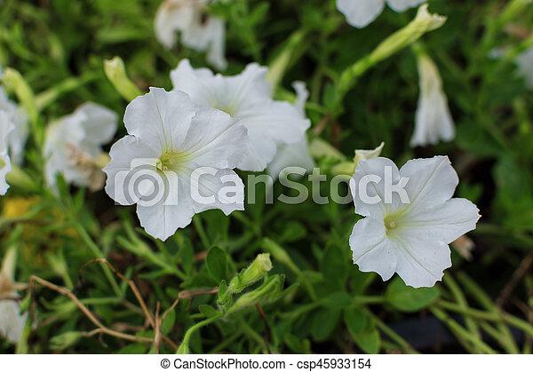 White Petunia Flowers In The Garden