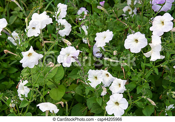 White petunias on the flower bed close up view lots of stock white petunias on the flower bed close up view lots of white petunia flowers mightylinksfo