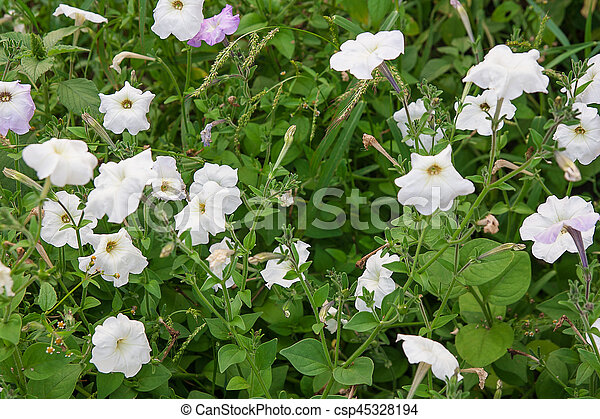 White Petunias On The Flower Bed Close Up View Lots Of White
