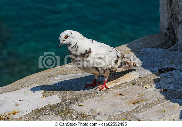 White pigeon standing on stone wall of fortress in Dubrovnik. Croatia - csp62532495