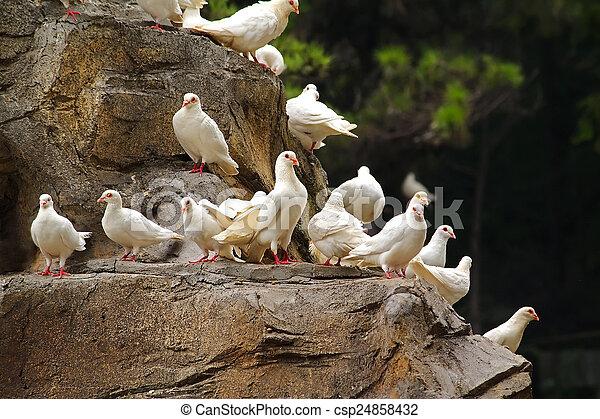 White pigeons sitting on a rock - csp24858432