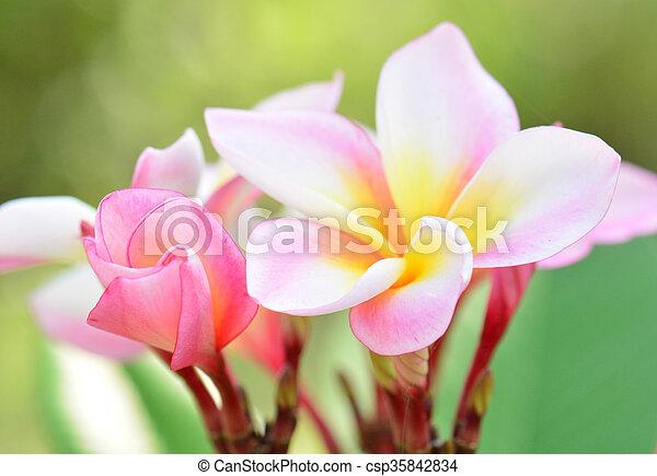 White pink and yellow plumeria flowers white pink and yellow plumeria flowers csp35842834 mightylinksfo