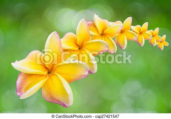 white , pink and yellow Plumeria - csp27421547