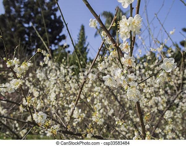 White plum flower blossom in taiwan white plum flower blossom white plum flower blossom in taiwan csp33583484 mightylinksfo