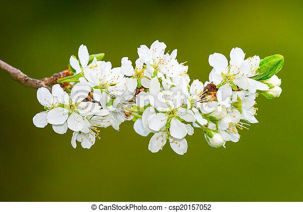 White plum flowers or prunus domestica on green background cluster white plum flowers or prunus domestica on green background csp20157052 mightylinksfo