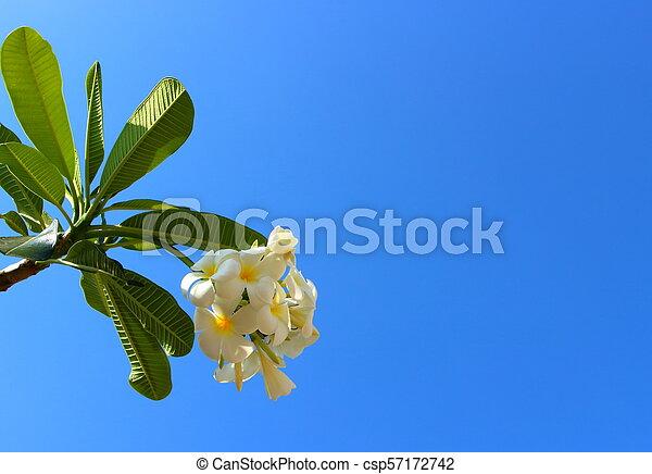 White plumeria flowers against blue sky - csp57172742
