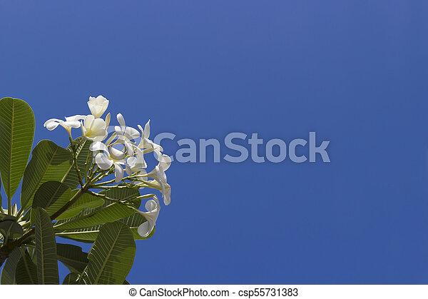 White plumeria flowers in sky background. - csp55731383