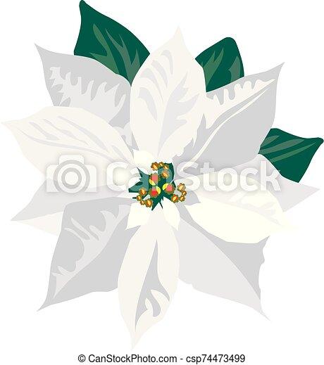 White Poinsettia Vector White Poinsettia Canstock