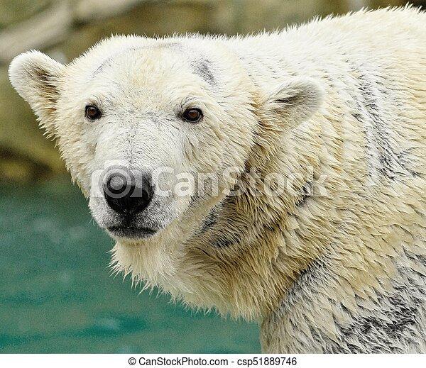 white polar bear head shot looking at camera a large polar stock