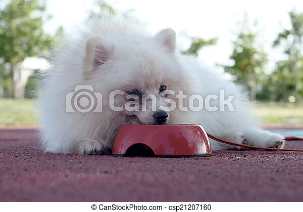 White Pomeranian Dog Eat Water Stock Image Search Photos And Photo