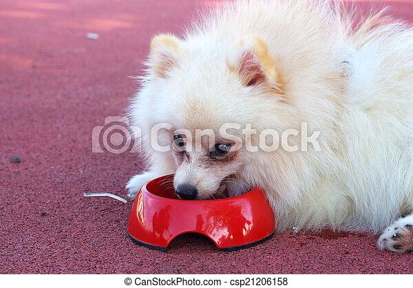White Pomeranian Dog Eat Water