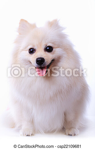 White Pomeranian Puppy Dog Cute Pet White Pomeranian Puppy Dog Isolated On White Background Cute Pet