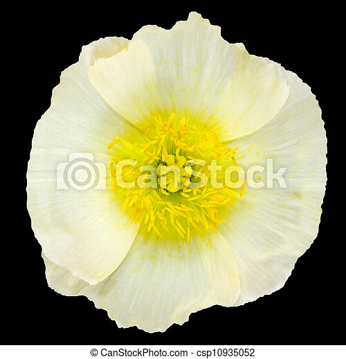 White poppy flower yellow center isolated on black white stock white poppy flower yellow center isolated on black csp10935052 mightylinksfo