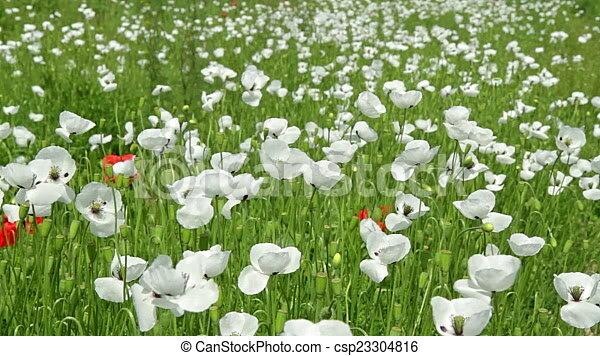 White poppy flowers in the field .
