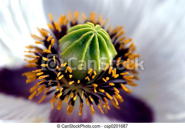 white poppy - csp0201687