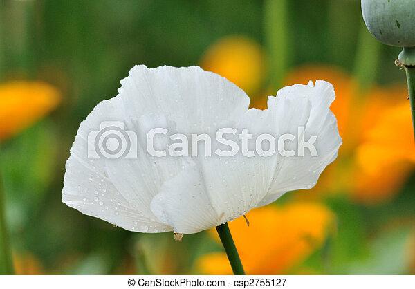 WHITE POPPY - csp2755127