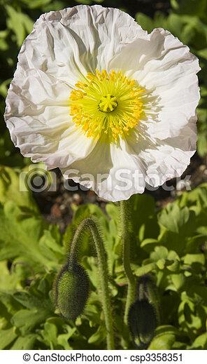 white poppy - csp3358351