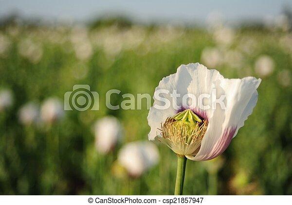 White poppy - csp21857947