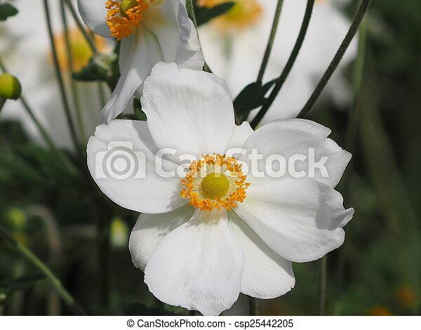 white poppy - csp25442205