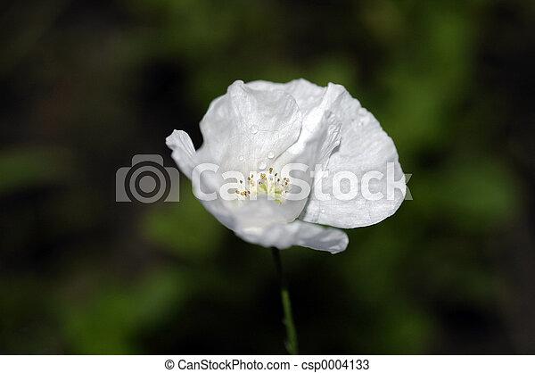 white poppy - csp0004133