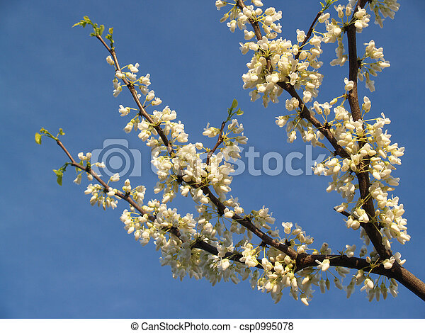 White Redbud Tree Branch - csp0995078