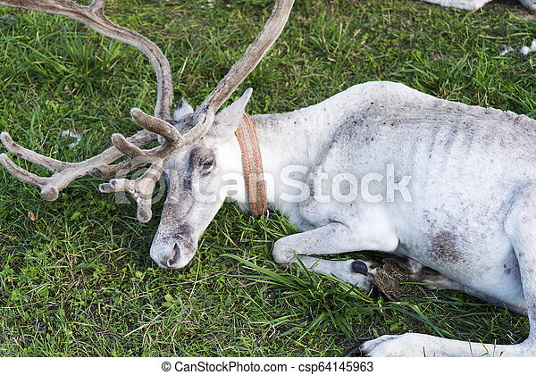 White reindeer lying on the grass. - csp64145963