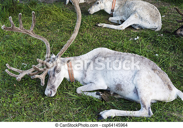 White reindeer lying on the grass. - csp64145964