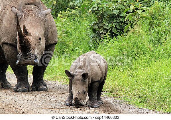 White Rhino (Ceratotherium Simum) With Calf, Lake Nakuru, Kenya - csp14466802