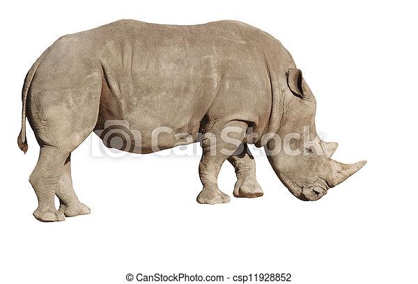 white rhino on a white background - csp11928852