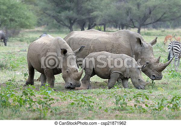 White rhino - csp21871962