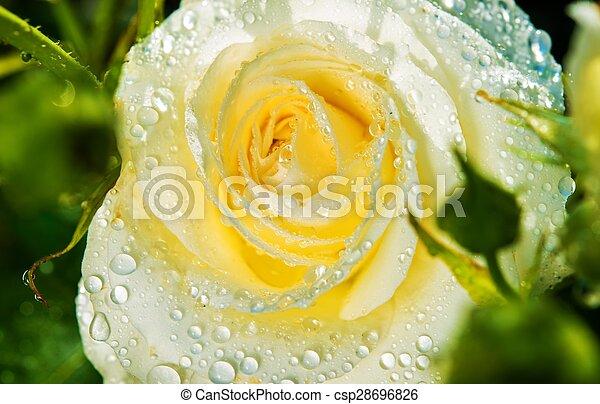 White Rose After Rain - csp28696826