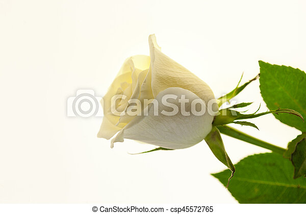 White rose flower closeup on a white background. Background for greeting card with place for text - csp45572765