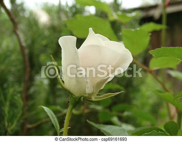 White Rose in a Garden - csp69161693