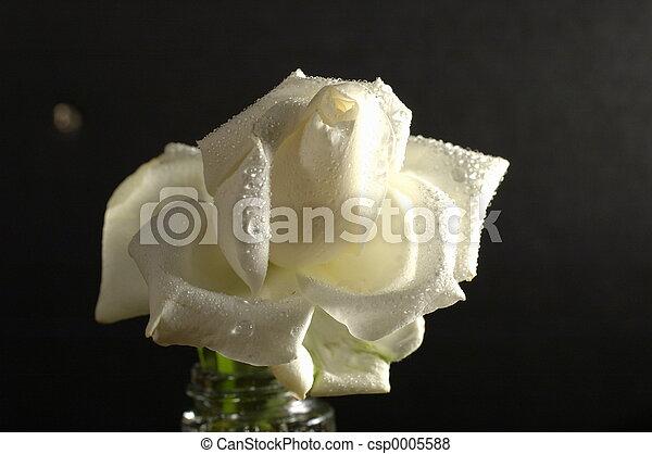 white rose - csp0005588