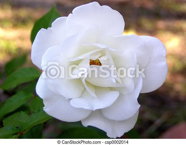 White Rose - csp0002014