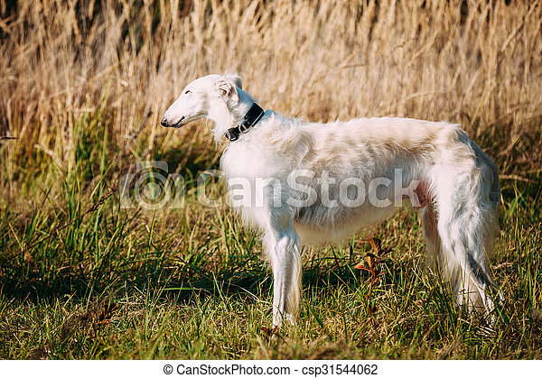 White Russian Borzoi, Borzaya Hunting Dog in field - csp31544062