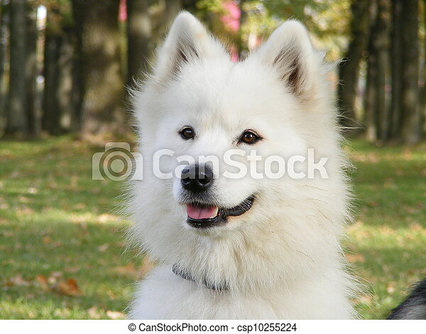 White samoyed - csp10255224