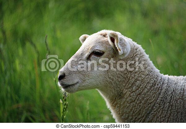Sheep head profile
