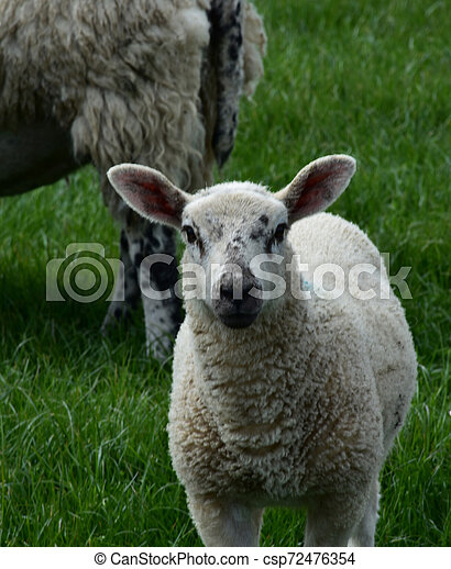 White Sheep with Black Speckles on His Face in a Field - csp72476354