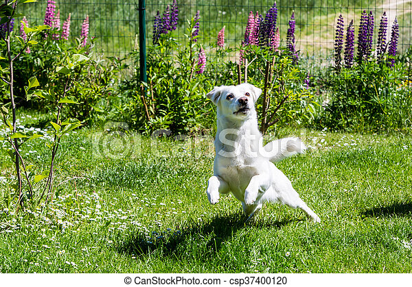 White shelter dog on a meadow in the garden - csp37400120