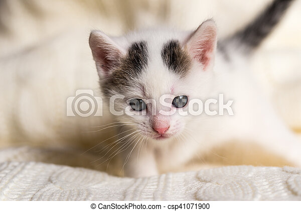 White small kitten with two dark spots on head - csp41071900