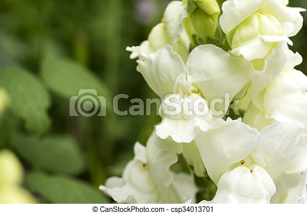 White snapdragon close up white snapdragon flower in front of green white snapdragon csp34013701 mightylinksfo