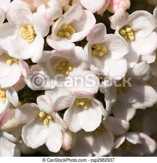 White Snowball Flowers In Close View Square Image White Viburnum